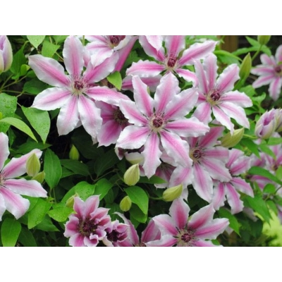 Clematis, powojnik 'Nelly moser'